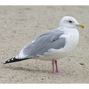Adult nonbreeding. Note: bright pink legs, more rounded head, less pronounced gonydeal angle, dark eye.