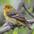 Male winter plumage
