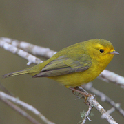 Female. Note: olive crown and forehead, bright yellow overall, and yellow lores.
